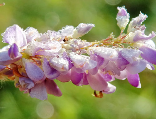 Desmodium : la plante qui protège votre foie