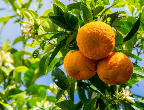 Citrus aurantium (orange amère) : une plante à risque ?