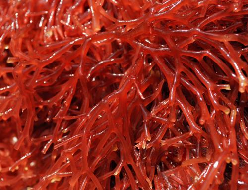 Lithothamne, une petite algue aux grands bienfaits