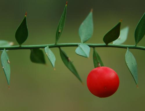 Fragon : les bienfaits de ce tonique veineux naturel