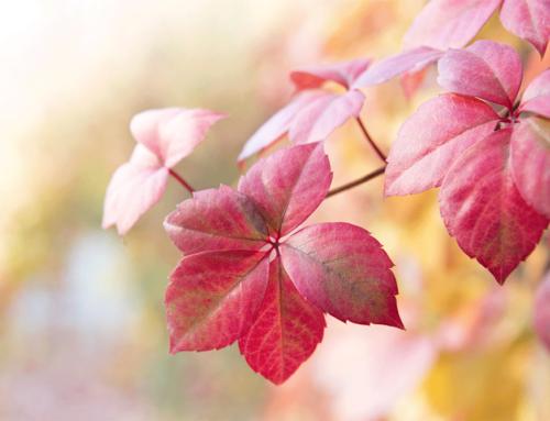 Vigne rouge : l'allié contre les troubles circulatoires